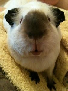Bertie Guinea Pig, Peppa 2013