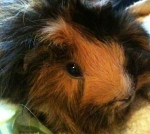 Horatio guinea pig
