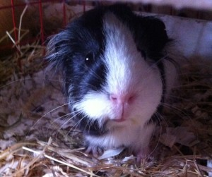 Mable guinea pig, Feb 2015