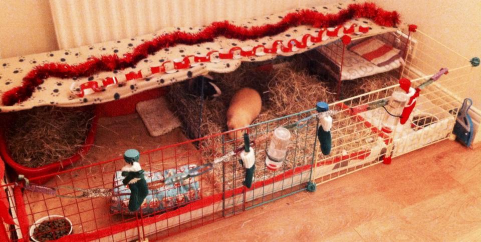 Xmas guinea pigs