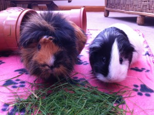 Mable and Horatio, two of our (NEGPR) rescue guinea pigs