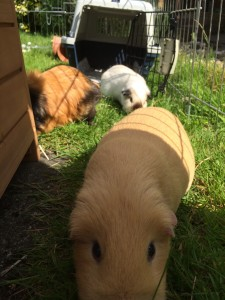 author Helen's guinea pigs 2015