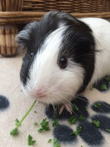 Mable guinea pig 2015