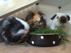 image shows author Helen's guinea pigs Feb 2016
