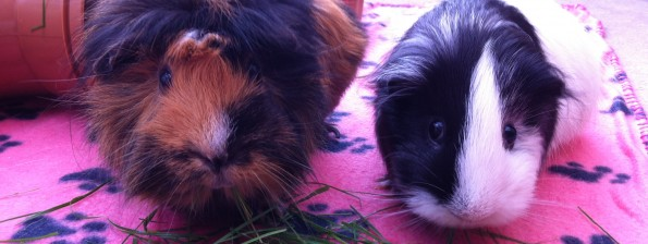 Horatio and Mable guinea pig, both from North East Guinea Pig Rescue